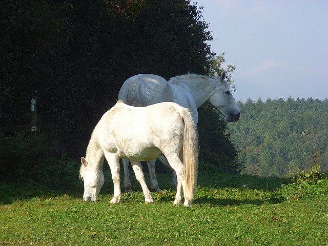 white horses  watercroft farm  cadmore     u00a9 andrew smith    geograph britain and ireland