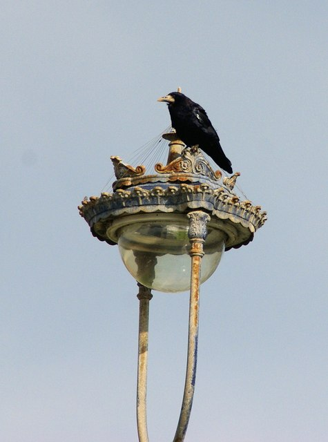 Rook on a street lamp at Craig-y-Don