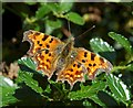 SO8642 : Comma butterfly by Philip Halling