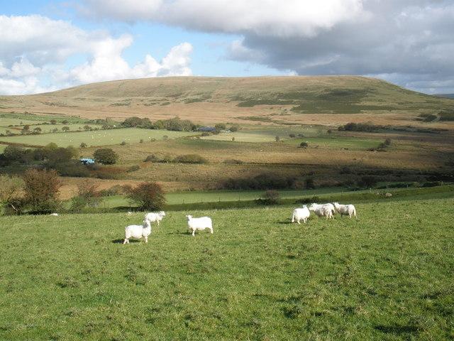 Sheep, on Cwm-garw Farm
