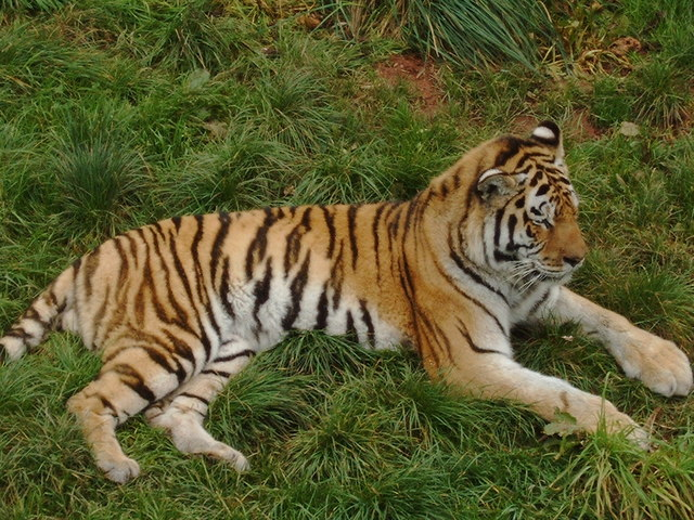 Tiger at South Lakes Wild Animal Park