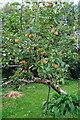 G9279 : Apple tree: Drumgorman by louise price