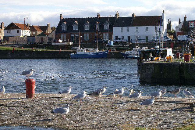 Gulls at Port Seton harbour