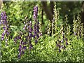 NS8279 : Monk's-hood (an Aconitum species) by Lairich Rig