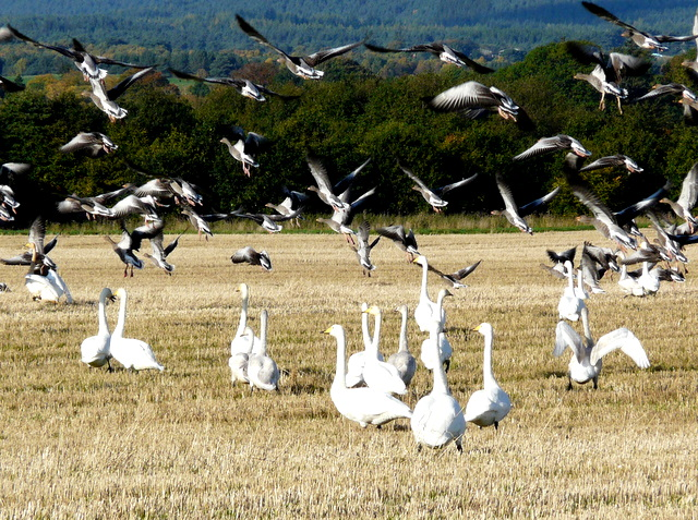 Whooper Swans and Greylag Geese, Balinroich