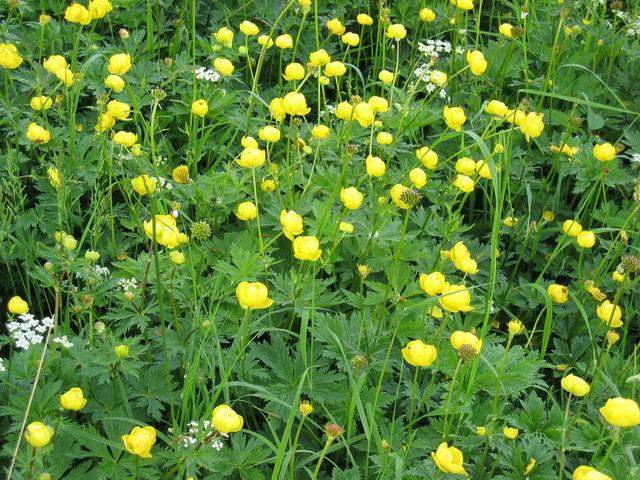 Globe Flowers, Waitby Greenriggs NR