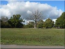 SU3012 : Bartley: bare oak tree by Chris Downer