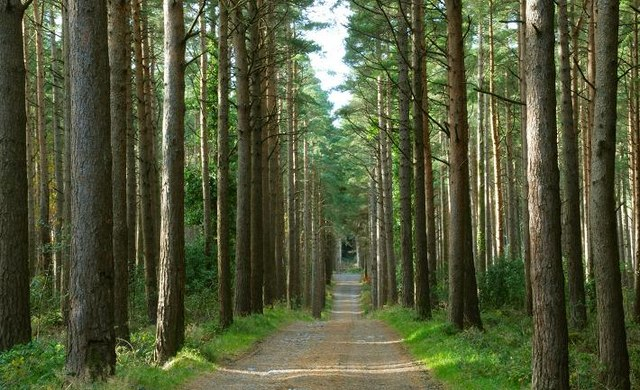 Conifers, Donard forest