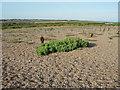 TG0345 : Half-buried Suaeda on Blakeney Point by Hugh Venables