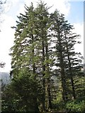 NS1385 : Picea sitchensis by Richard Webb