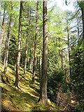NS1385 : Larch woods, Benmore by Richard Webb