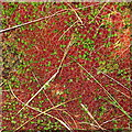 SN8475 : Bog moss in autumn colours by Rudi Winter