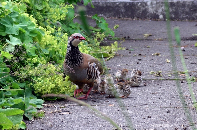 Red-legged partridge with chicks