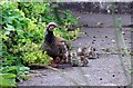 NY0981 : Red-legged partridge with chicks by Lynne Kirton