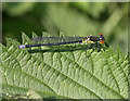 TL3369 : Red-eyed Damselfly (Erythromma najas) by Hugh Venables