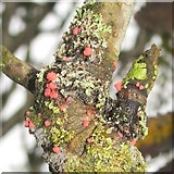 NS3778 : Pink fungal parasite on lichen by Lairich Rig