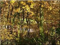 SX4663 : Oak wood, Blaxton Creek by Derek Harper