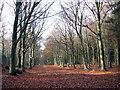 TG3130 : Beech trees in Witton Heath by Evelyn Simak
