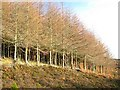 NN9246 : Larches and seedlings by Lis Burke
