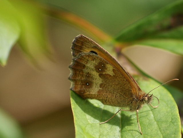 Gatekeeper (Pyronia tithonus), Ruspidge, Forest of Dean