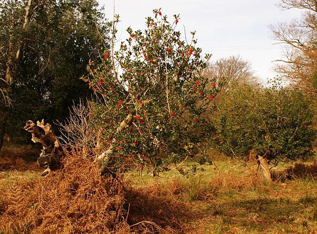 Holly bush near Speech House, Forest of Dean