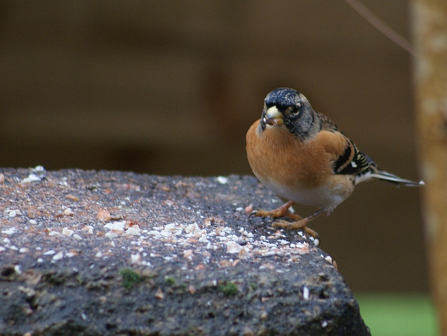 Brambling, Forest of Dean