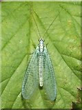 NS3977 : A Green Lacewing (Chrysopa perla) by Lairich Rig