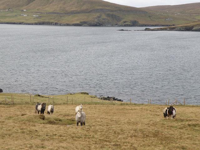 Shetland ponies near Cumlewick
