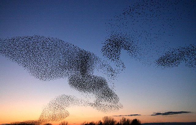 Starlings over Gretna