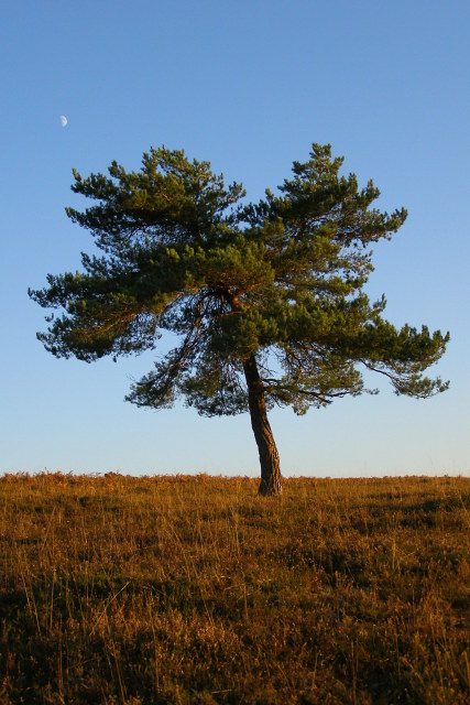 Scots pine on the heath, Acres Down, New Forest