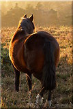 SU2609 : Pony on the heath, Acres Down, New Forest by Jim Champion