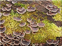 NS3477 : Turkeytail Fungus (Trametes versicolor) by Lairich Rig