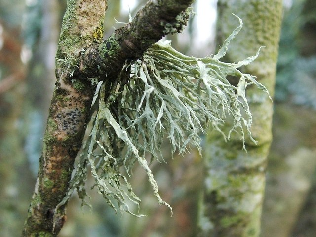 A lichen - Ramalina farinacea