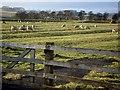 NY8892 : Sheep grazing at Otterburn Mill by Joan Sykes