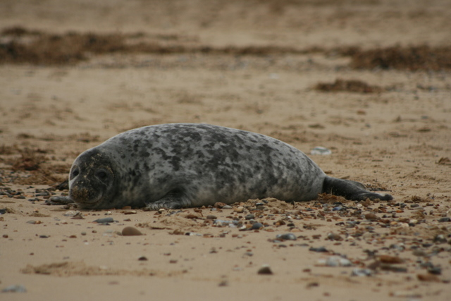 Grey seal, Horsey