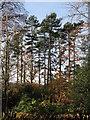 NZ0158 : Plantation near Corf Gate by Mike Quinn