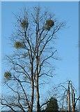 SK6443 : Wild Mistletoe by johnfromnotts