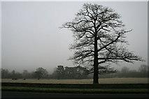 SK3442 : Roadside Oak by David Lally