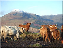NN6004 : Highland Cattle - Ben Gullipen by Paul Davison