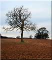 SK4337 : Ash and Oak in Field by David Lally