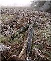 SO3996 : Dead tree trunks by the Shropshire Way by Derek Harper