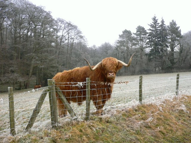 Field with Highland cattle
