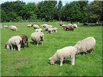 SJ3595 : Ryeland Sheep, Rice Lane City Farm by Sue Adair