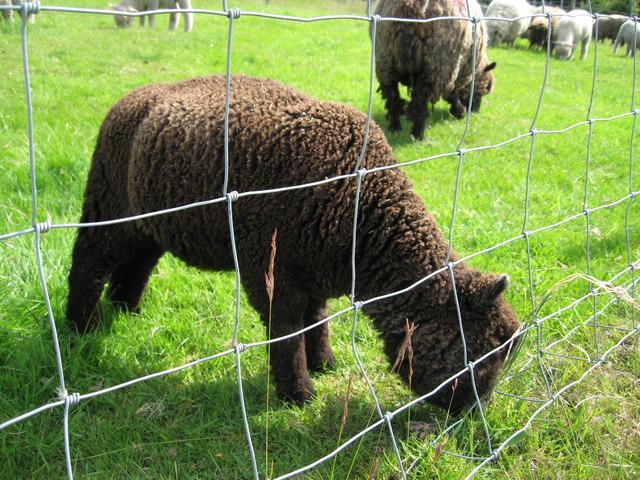 Coloured Ryeland Lamb, Rice Lane City Farm
