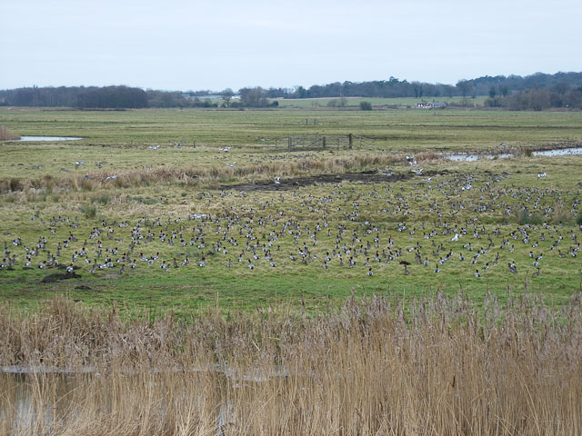 Wigeon on the marshes