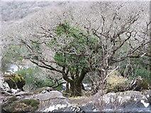 V9180 : Wintry tree near Galway's Bridge by Ulrich Hartmann
