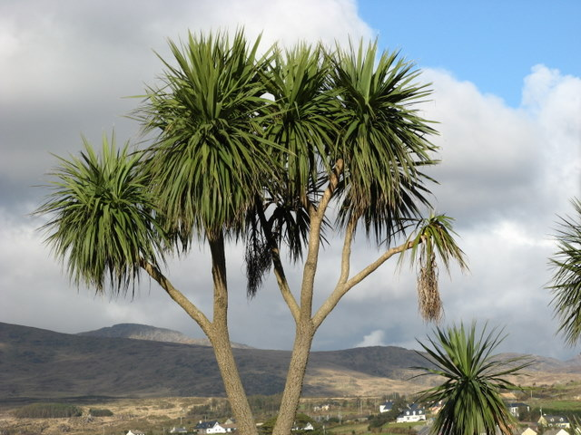 Palm Trees At Castletown Bearhaven 169 Ulrich Hartmann