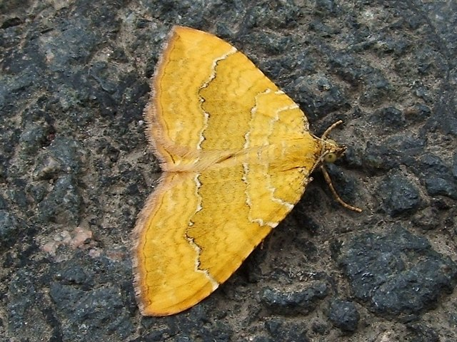 A moth - Yellow Shell (Camptogramma bilineata)