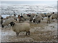SD9873 : Sheep near Hay Tonge by Chris Heaton