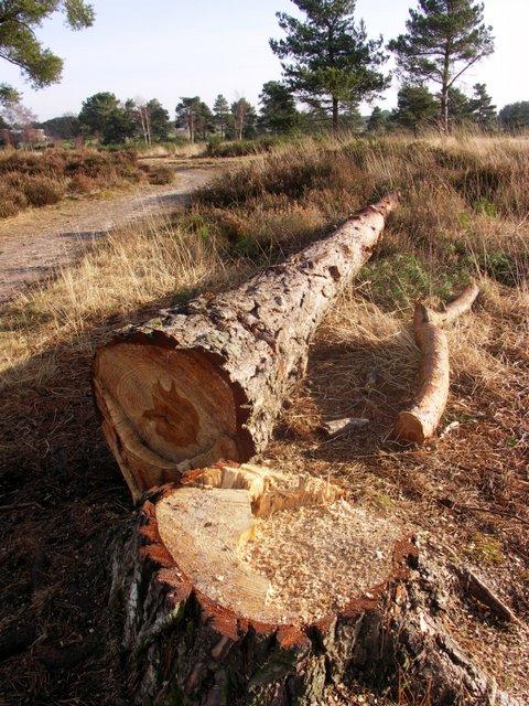 Felled tree on Ferndown common